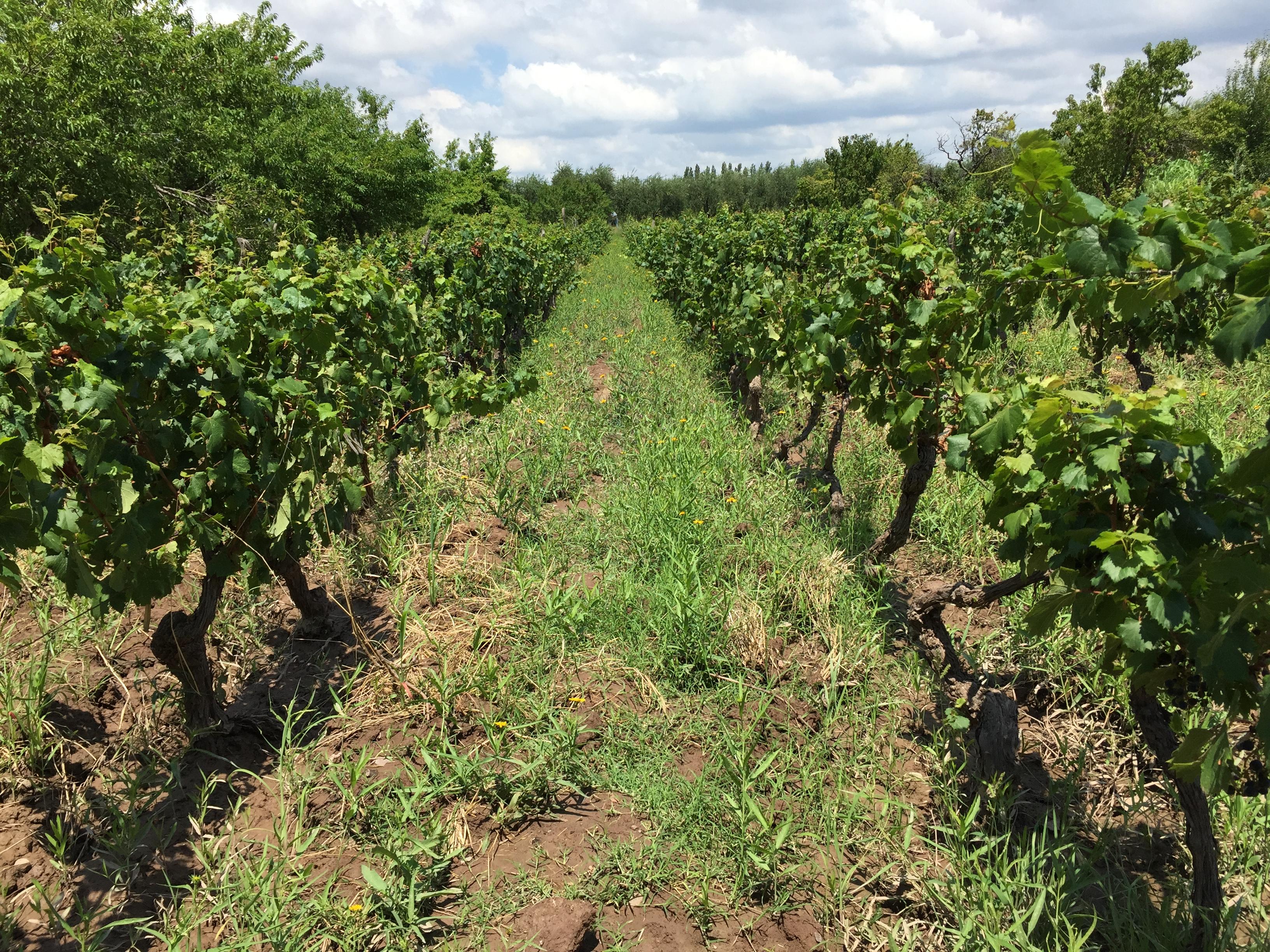 Bodega Cecchin Vinhos Orgânicos 3